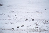 Rose Creek Pack,Five Gray Wolves (Canis lupus), Lamar Valley, Winter, Yellowstone National Park, Wyoming, USA, North America