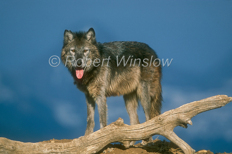 Gray Wolf, Canis lupus, Controlled Conditions