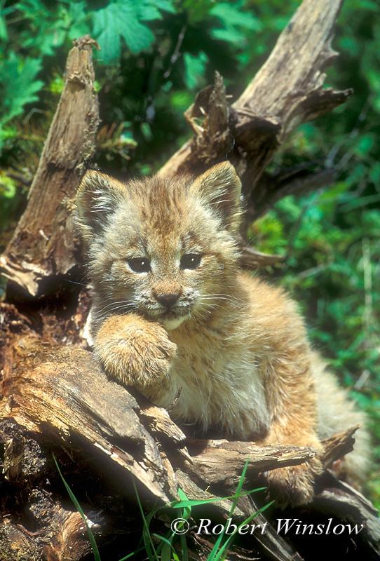 Canadian Lynx Kitten. Kitten, Lynx or Canadian Lynx,