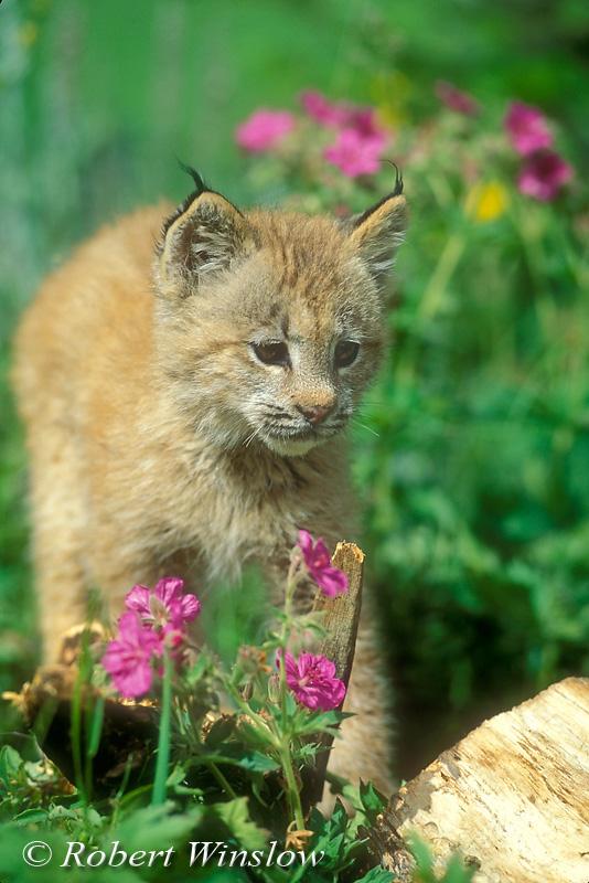 Canadian Lynx Kitten. filename: Lynx Kitten F-06W8C