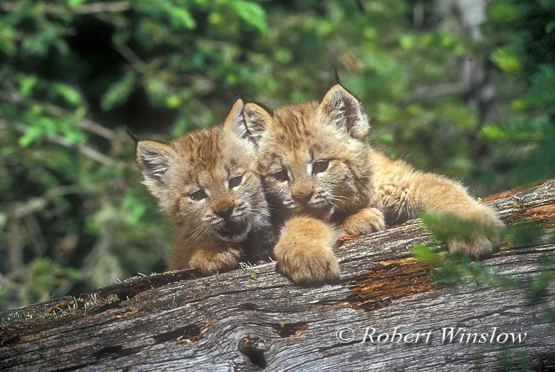 Canadian Lynx Kitten. two Kittens, Lynx also called