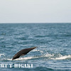 dolphins-15<br /> <br /> A Northern Right Whale Dolphin( Lissodelphis borealis)