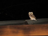 Northern Saw-whet Owl after its release (same bird pictured previously.)<br /> 10-22-12