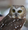 Northern Saw-whet Owl<br /> November 1, 2010.