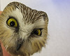 "Northern Saw-whet Owl.  It doesn't look particularly pleased, but left with a new ""bracelet"" after about 15 minutes in the station.<br /> 10-22-12"