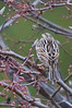Savannah Sparrow #4.  Fort Belvoir.