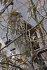 Cooper's Hawk<br /> Riverside Park, 1-2-11