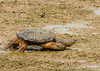 Even with the Solitary Sandpiper well out of reach, this Snapping Turtle continued the chase.<br /> 8-11-13