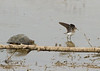 Solitary Sandpiper with Snapping Turtle in pursuit<br /> 8-11-13