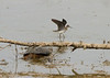Solitary Sandpiper and Snapping Turtle.<br /> 8-11-13