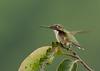 Ruby-throated Hummingbird<br /> 8-11-13