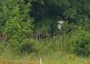 Northern Harrier<br /> 8/11/13