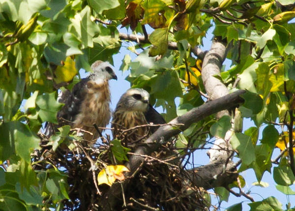 Juveniles on the nest.  The bird on the left, with down still on his crown, seemed the younger of the two.<br /> 8/11/13