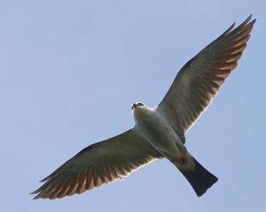 Northern Virginia: Missisippi Kites, 2013