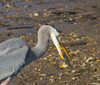"""Great Blue Heron with speared fish.  (""""speared"""" -- one letter away from """"spared"""", but oh so very different...)<br /> Hunting Creek Bridge, N of Dyke Marsh<br /> 1-27-13"""