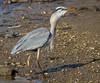 Great Blue Heron with afternoon snack neck-bulge.   <br /> Hunting Creek Bridge, N of Dyke Marsh<br /> 1-27-13