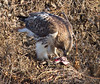 Red-tailed Hawk eating a rat.<br /> Belle Haven, near Hunting Creek Bridge.<br /> 1-27-13