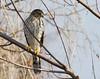 Cooper's Hawk<br /> Belle Haven, north of picnic area.<br /> 1-27-13