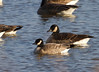 Cackling Goose with Canada Geese  <br /> Belle Haven, near Hunting Creek bridge.<br /> 1-27-13