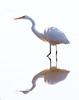 Great Egret<br /> Hunting Creek Bridge (N of Dyke Marsh)<br /> 1-27-13