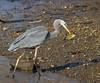 Great Blue Heron with afternoon snack<br /> Hunting Creek Bridge, N of Dyke Marsh<br /> 1-27-13