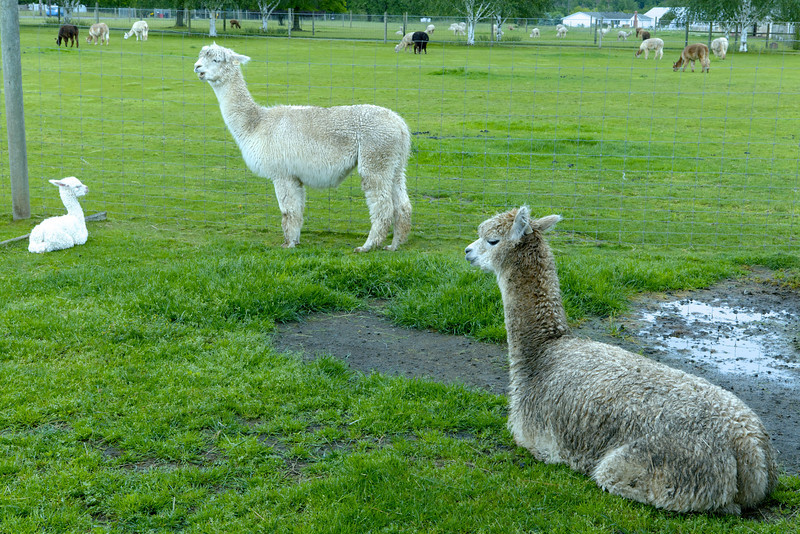 I *think* that is Fille Du Soleil on the right.  The mother of the one day old cria is in the middle.