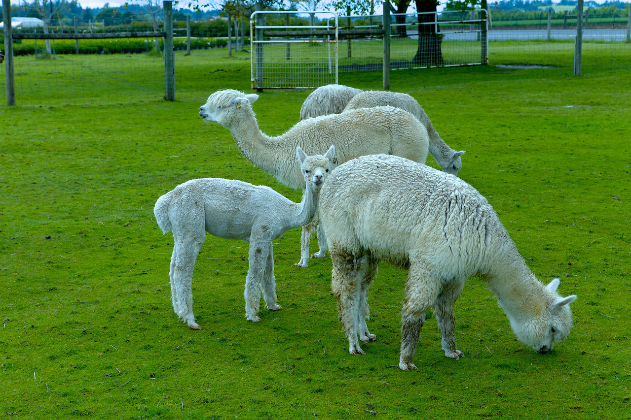 Alpacas from a different pen; totally unrelated