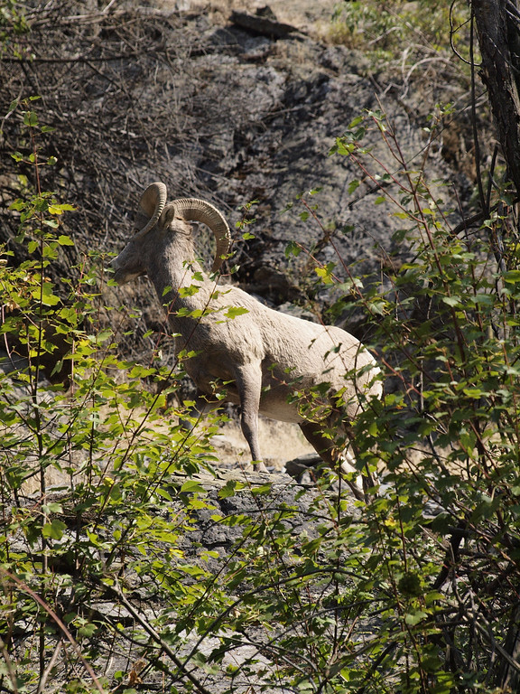 Big Horn Sheep - Along the highway - MT