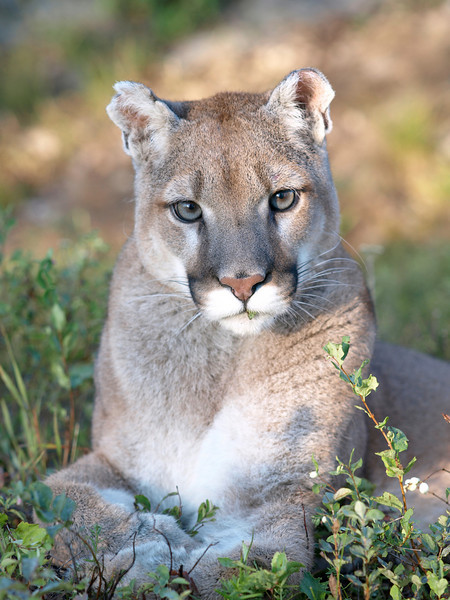 Mountain Lion - Triple D Game Farm, MT