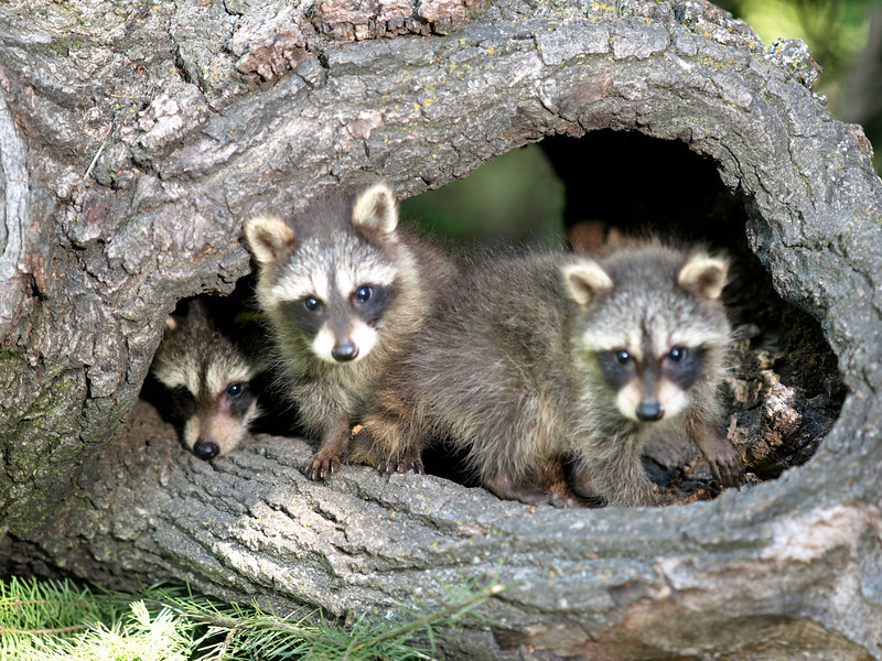 Raccoons - Triple D Game Farm, MT