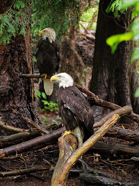 Bald Eagle - Northwest Trek