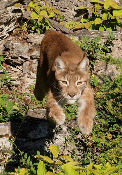 Canada Lynx - Triple D Game Farm, M