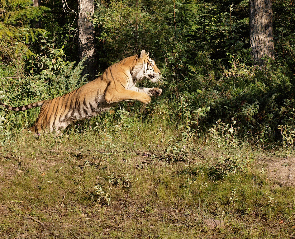 Siberian Tiger - Triple D Game Farm, MT