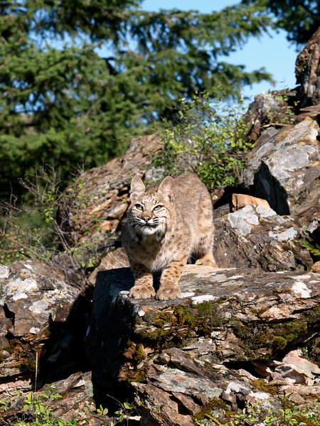Bobcat - Triple D Game Farm, MT