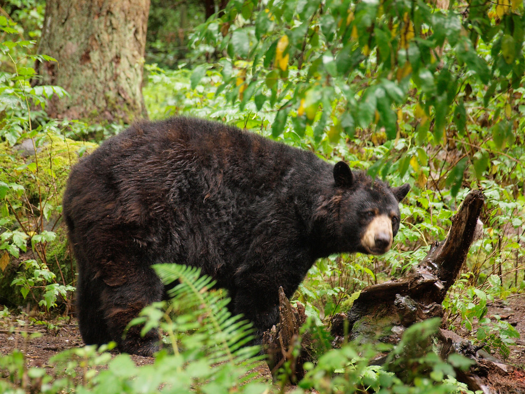 Black Bear - Northwest Trek, WA