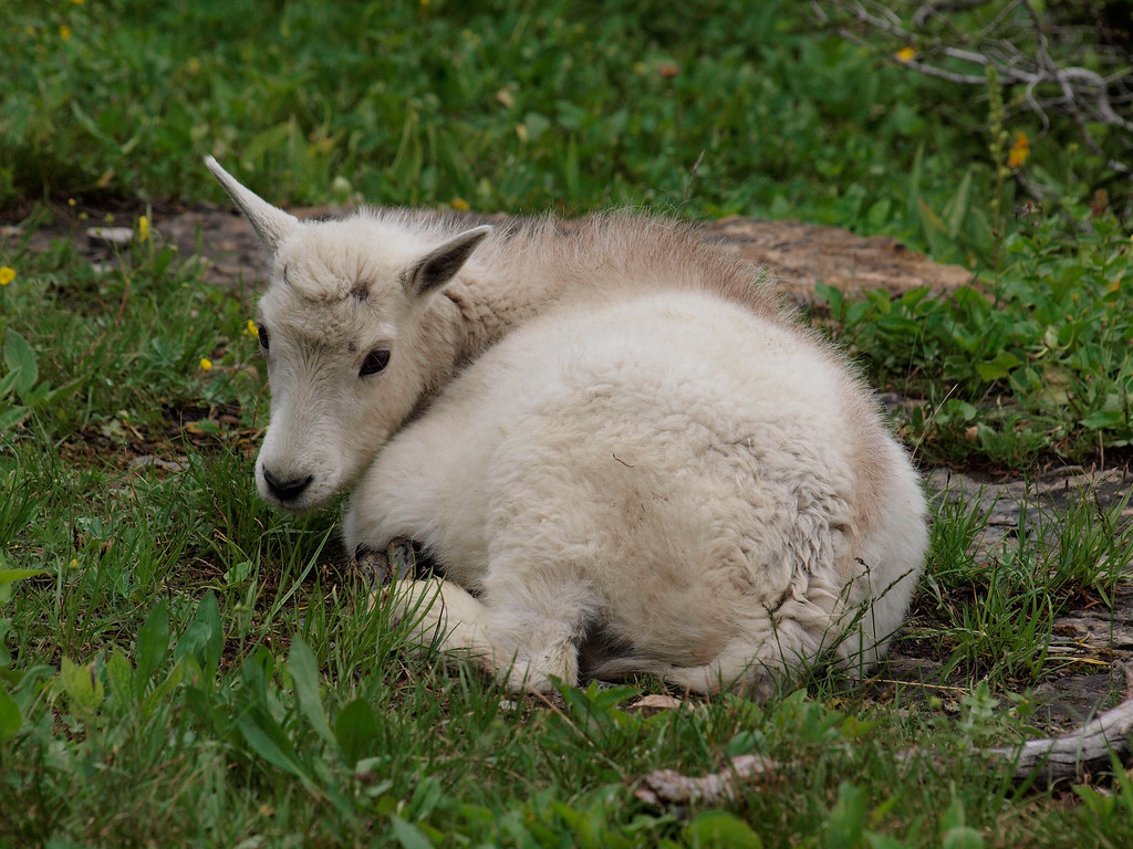 Mountain Goats - Glacier N. P., MT