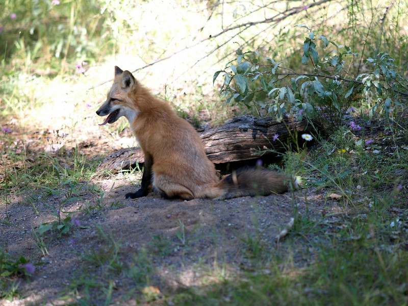 Red Fox - Triple Game Farm, MT