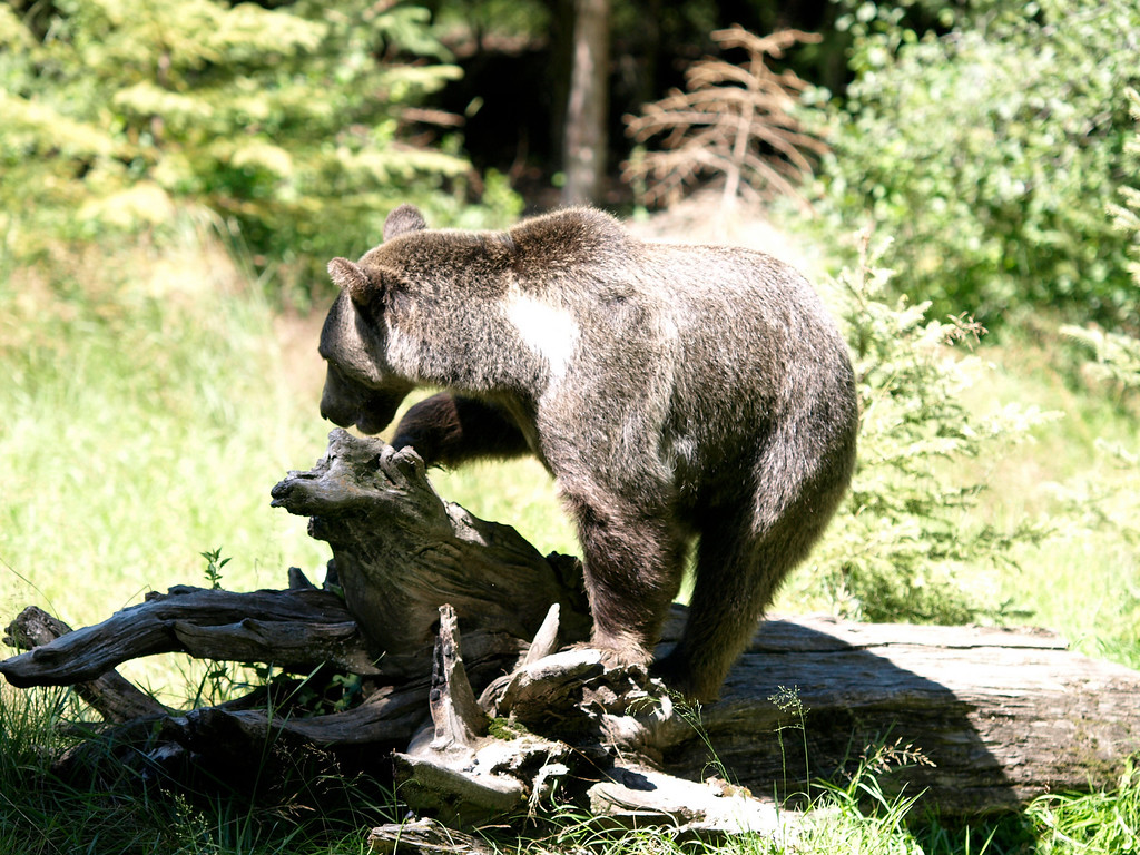 Grizzly Bear - Triple D Game Farm, MT