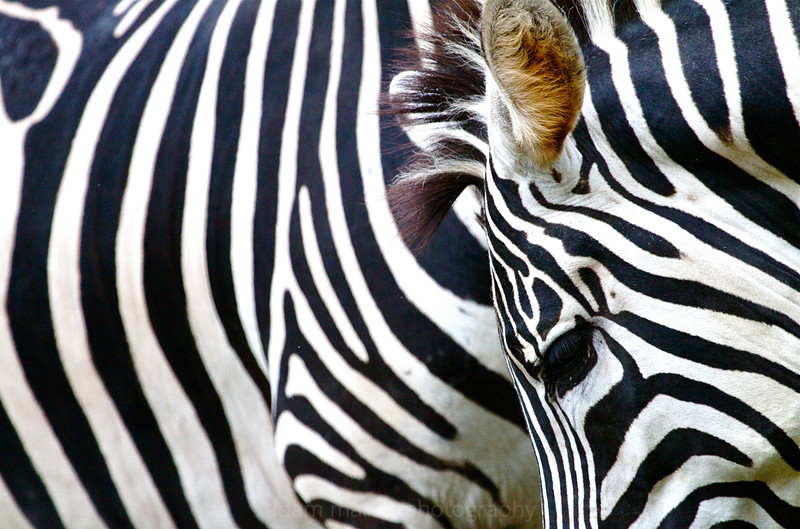 Zebra Stripes, Singapore Zoo
