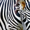 Zebra Stripes, Singapore Zoo