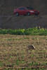 Undaunted by traffic... Sandhill Crane forages in field at Chino Farms.  All organic produce for this youngster !