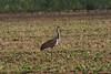 Sanhill Crane, juvenile... poised on one foot... statuesque...