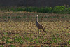 Late afternoon sun catches Sandhill Crane juvenile in the field....