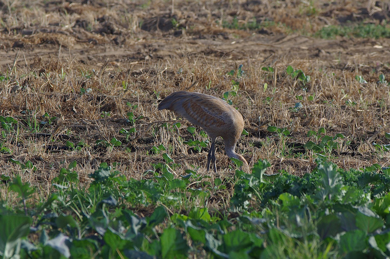 Sandhill Crane visiting Chino Farms to forage.  Will it stay for the winter ?