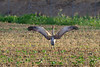 Sandhill Crane ... flexing beautiful wings early evening.   (wingspan around 73 inches - Lesser )