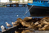Sea Lion Gathering