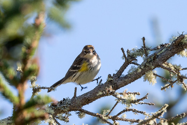 Oct  7th 2017 Yellow Rumped Warbler