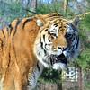 Tiger at Odense Zoo