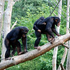 Chimpanzees in Odense Zoo