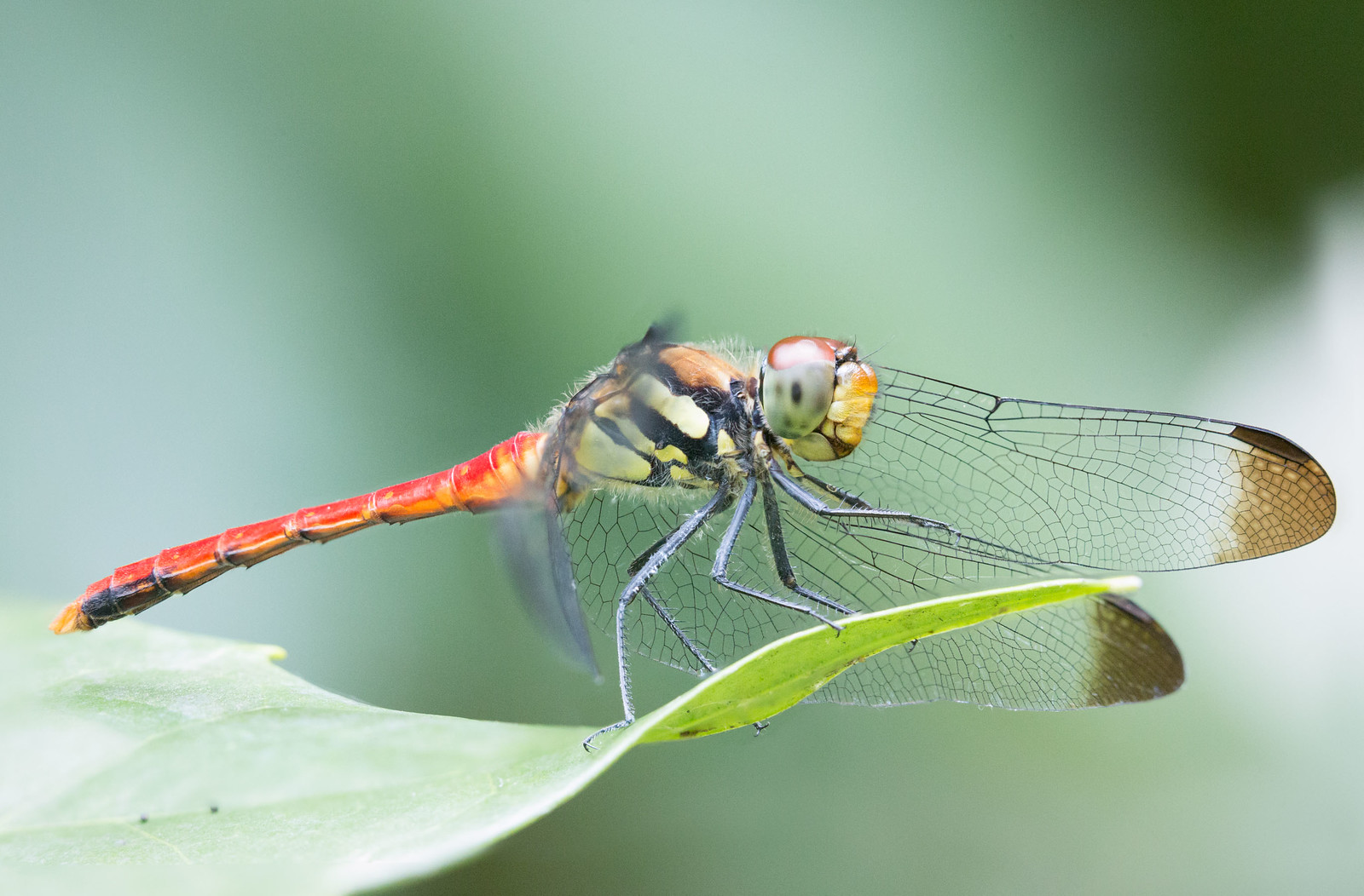 Sympetrum risi male (リスアカネ)